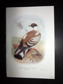 Baker & Gronvold Indian Pigeons & Doves 1913 Bird Print. Snowy Pigeon